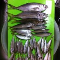 アジングとサビキ釣で釣れたアジを並べてみました