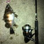 良型メバルが釣れました